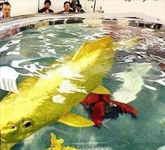 کشف یک ماهی شگفت انگیز از جنس طلای 24 عیار + عکس