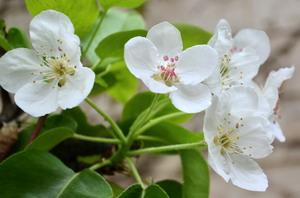 گلدهي درخت گلابي ارديبهشت 91 اردبيل