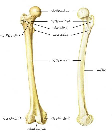 استخوان ران