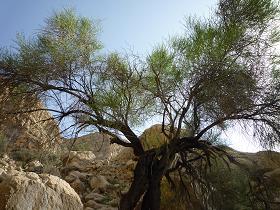 درخت بادام کوهی