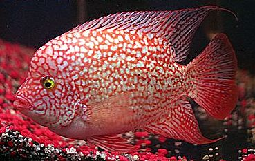 red texas fish