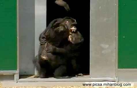 خنده و خوشحالی شامپانزه هایی که بعد از 30 سال اسارت آزاد شدند