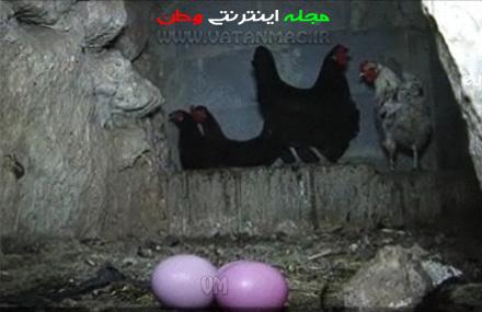 این مرغ تخم های رنگی می گذارد + عکس