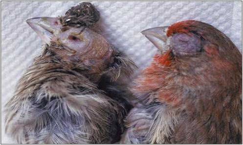 نگاهی به بیماری مایکوپلاسمای پرندگان