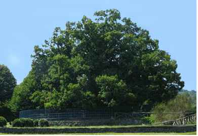 ده درخت کهنسال دنیا را بشناسید   Oldest Trees