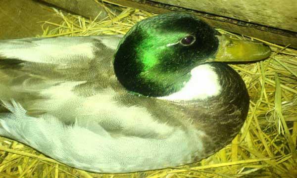 مزرعه پرورش اردك اسرائيلي و بوقلمون