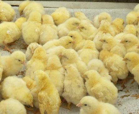 مزرعه پرورش مرغ