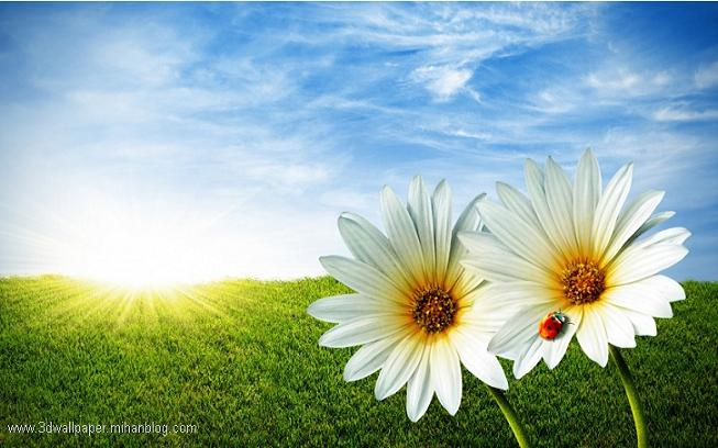 عکس گل های داوودی