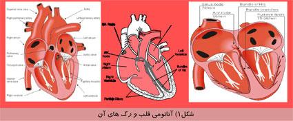 آناتومی قلب و رگ های آن