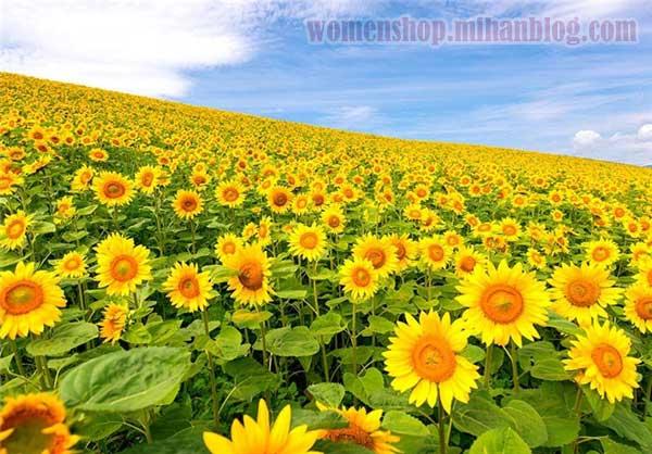 نمایی زیبا از گل آفتابگردان