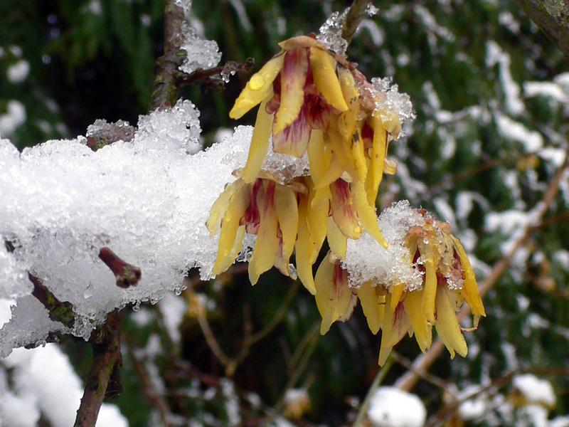 تصویر گل یخ