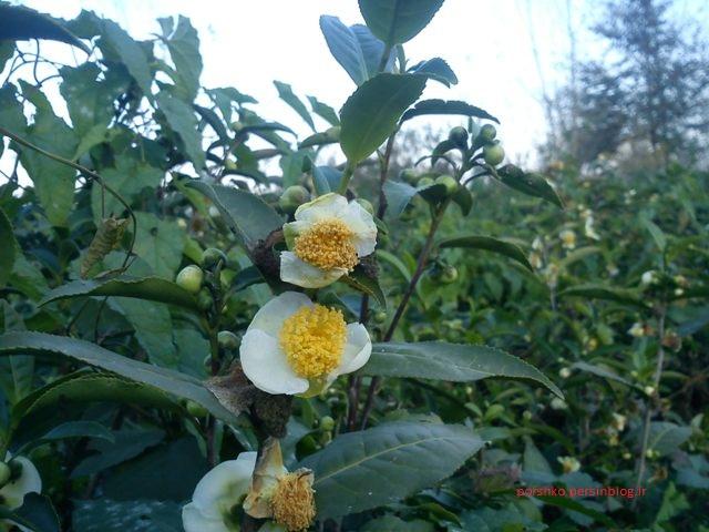 گل چای