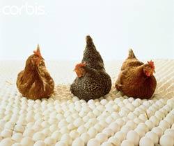 تولید ، نگهداری و بهداشت تخم های جوجه کشی