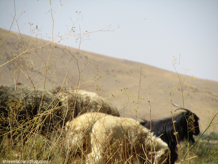 گوشفند