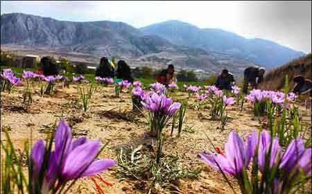 فیلم آموزشی پرورش و کاشت زعفران