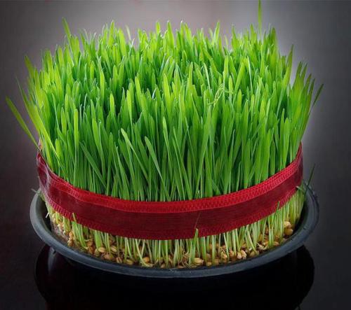 نحوه کاشت سبزه به شکل مزرعه تزیین سبزه عید