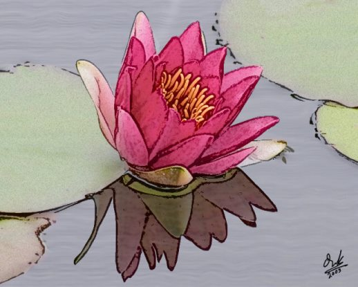 red water lily - نیلوفر آبی سرخ