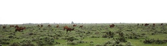 ترکمن صحرا- گله ی شترها