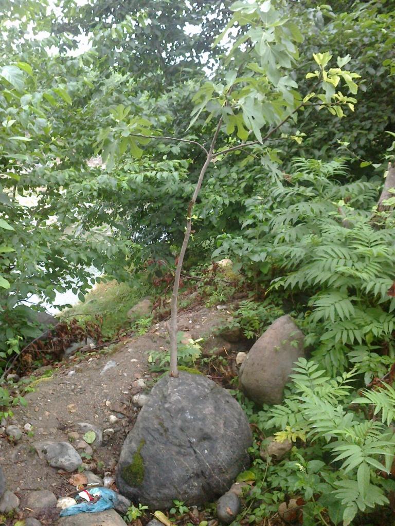 درخت انجیر در سنگ