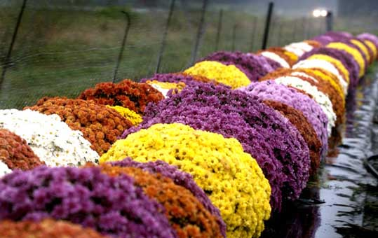 Homelife Plant Guide Chrysanthemums