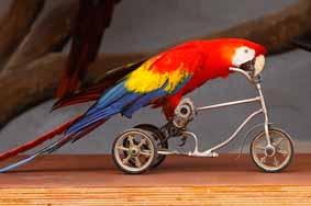 طوطی دوچرخه سوار
