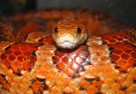 http://s3.picofile.com/file/8188901442/corn_snake_of_hospital.jpg