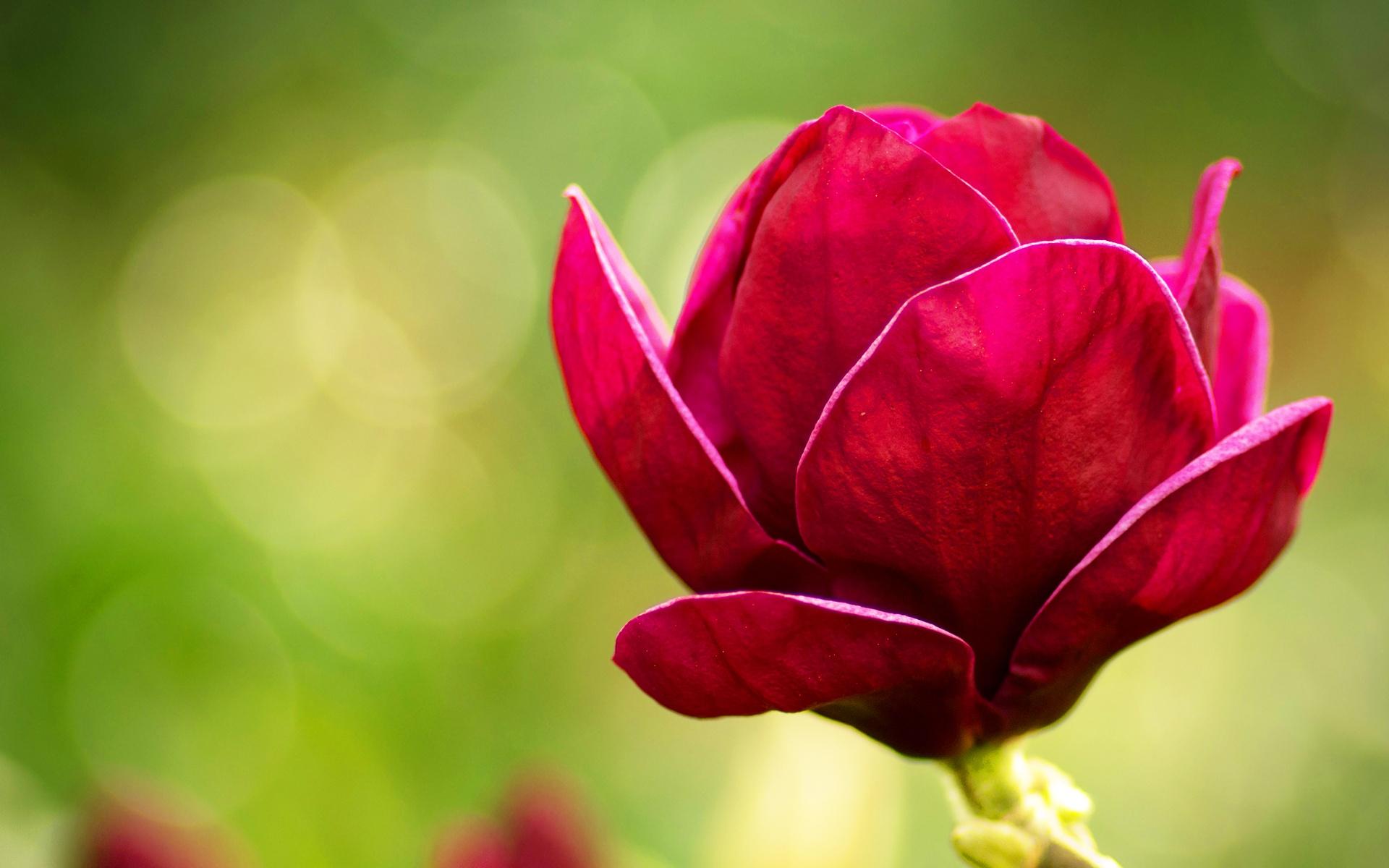 گلهای لاله زیبا