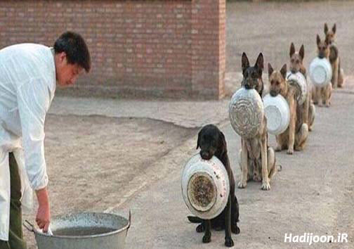 عکس جالبی از سگ ها در صف غذا