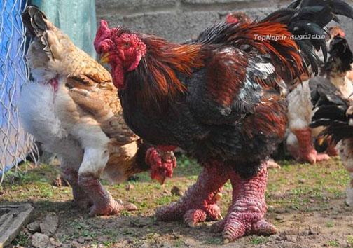 مرغ پاگنده