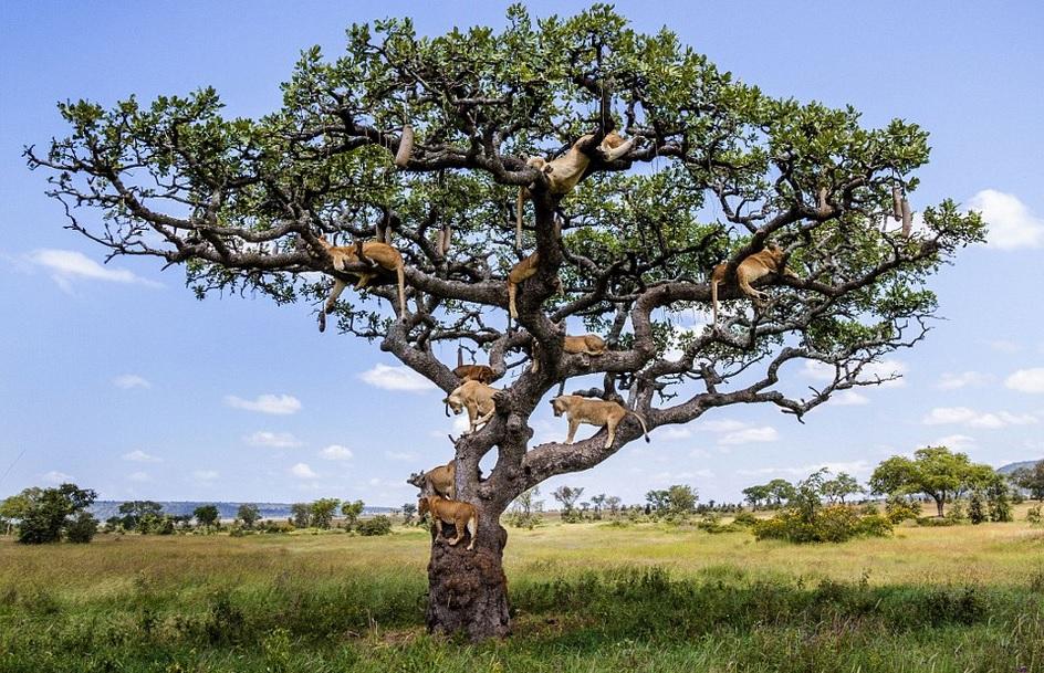 درخت شیرها