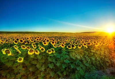 گل آفتاب گردان