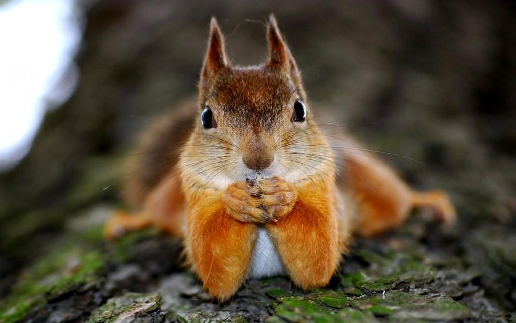 http://s3.picofile.com/file/8203821326/Cute_Squirrel_Wallpaper_1024x640.jpg