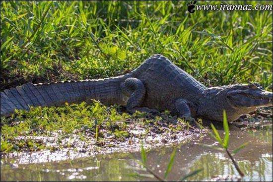 تصاویری از اولین تمساح گوژپشت جهان !؟ , تصاویر دیدنی