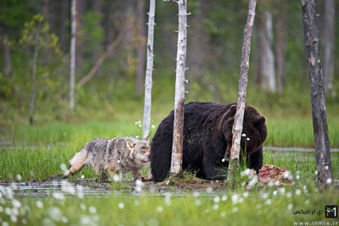 تصاویر جالب و شگت انگیز از زندگی خرس نر قهوه ای غول پیکر و گرگ خاکستری ماده