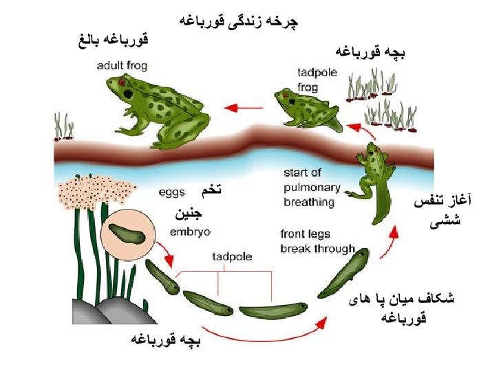 نتیجه تصویری برای مراحل رشد قورباغه