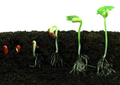رشد دانه