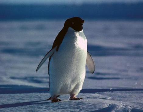 http://s3.picofile.com/file/8214935500/adelie_penguin2.jpg