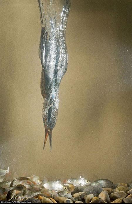 صحنه شگفتانگیز شکار مرغ ماهیخوار , تصاویر دیدنی