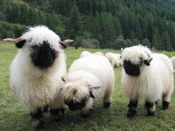 http://s3.picofile.com/file/8217472518/l_fuzzy_black_nosed_sheep.jpg
