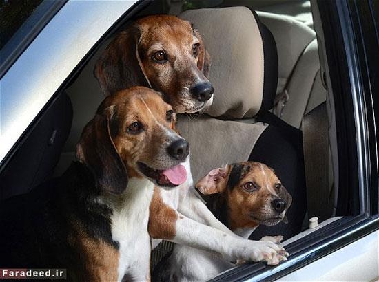 سگ های قدرتمند جهان+عکس , علمی ودانستنی ها
