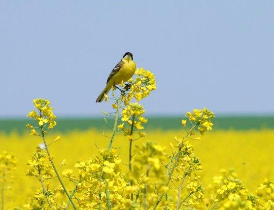 حمله پرندگان به کلزا