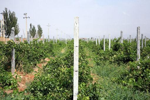 تیرچه های داربستی برای باغ انگور اسفرورین