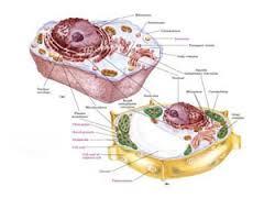 زیستشناسی  dna rna تقسیمات سلولی  میتوکندری هسته