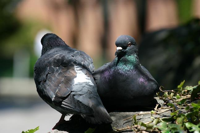 آیا می دانستید کبوترهای چاهی سرطان شناس هستند؟ , علمی ودانستنی ها