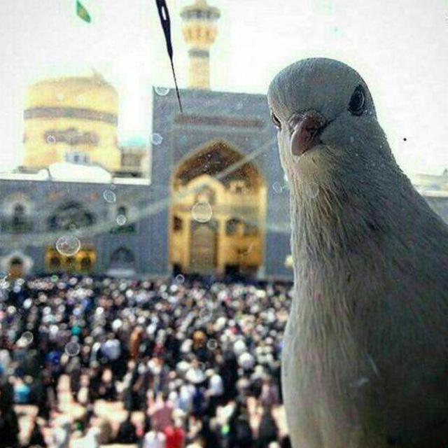 سلفی کبوتر با حرم امام رضا
