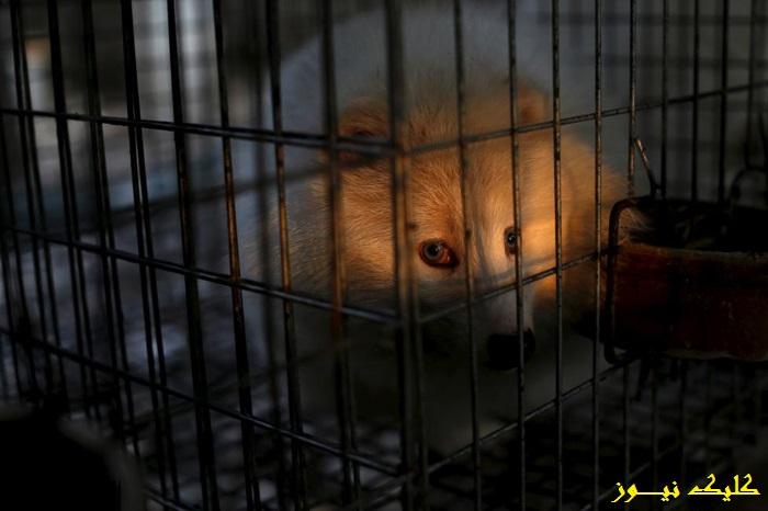 تصاویر/ شکجه و کشتار پنهانی در تجارت حیوان خز