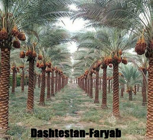 نخلستان فاریاب دشتستان
