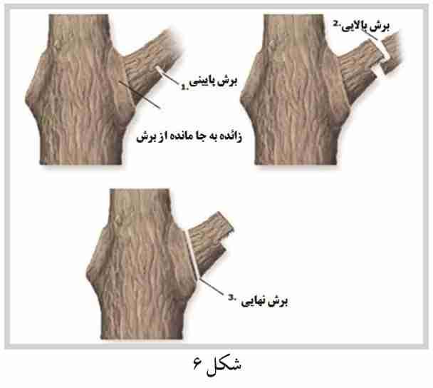 برش صحیح شاخه های قطور در درختان