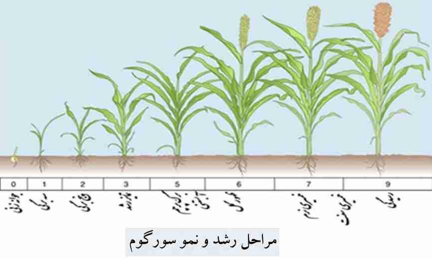 مراحل رشد و نمو سورگوم