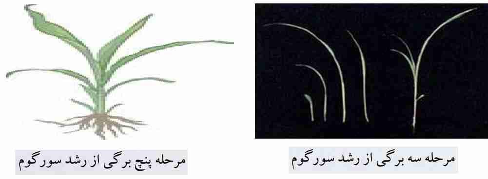مراحل سه برگی و پنج برگی رشد سورگوم